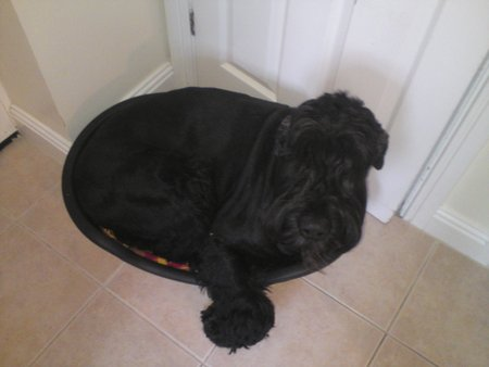 IF THOSE MINI SCHNAUZERS CAN FIT IN THIS BED, THEN SO CAN I!! RUGER 2009\\n\\n20/01/2014 23:55