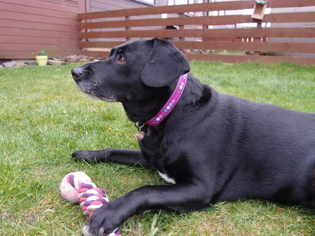 TESS WHO IS A 12 YEAR OLD LAB/SPANIEL SENT IN HER PIC WEARING HER NEW COLLAR. A BEAUTIFUL LADY - Feb 2014\\n\\n23/02/2014 19:32